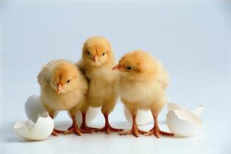 禽周期探讨