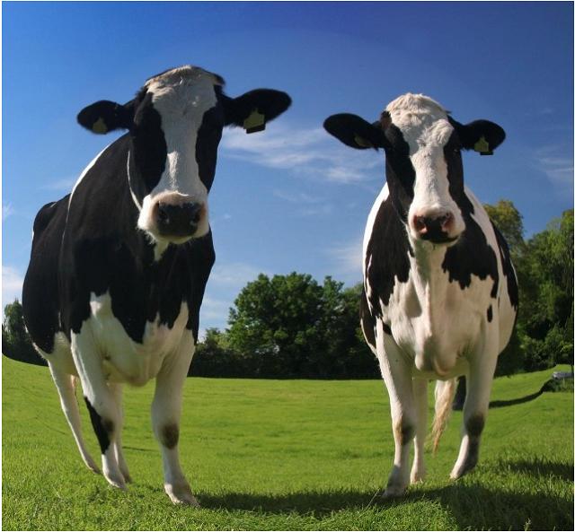 """鲜奶""""廉""""若水 中国原奶产业再陷危局"""